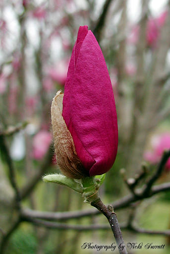 pink magnolia flower deep - photo #11
